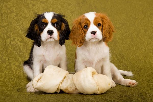 Cavalier King Charles Spaniel pups oud genoeg voor een puppy behandeling.