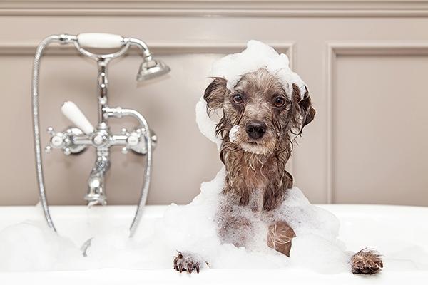 Terriër wassen met hondenshampoo.