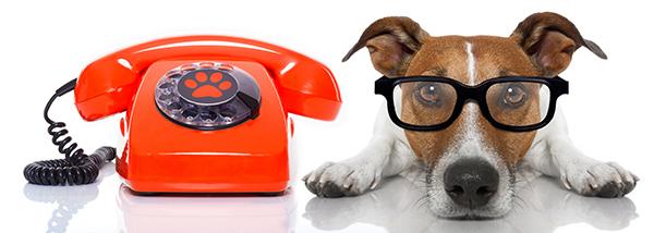 Jack Russel Terriër met telefoon.