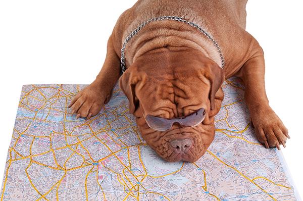 Bordeaux dog met routekaart.